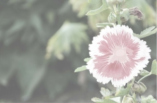 A Pinkney